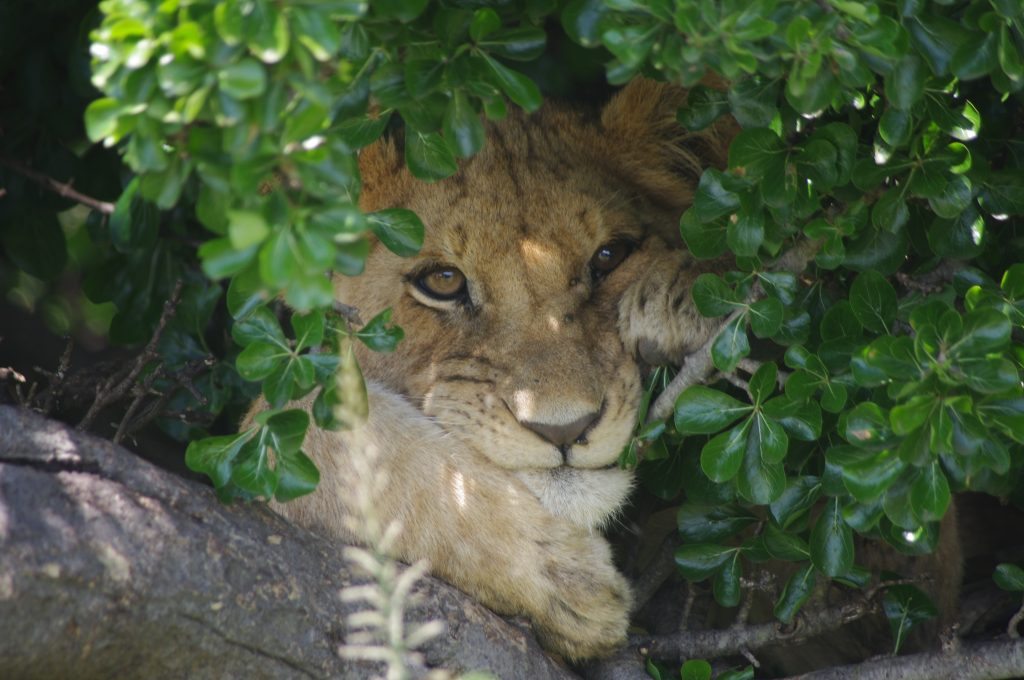 Jackson lion cub