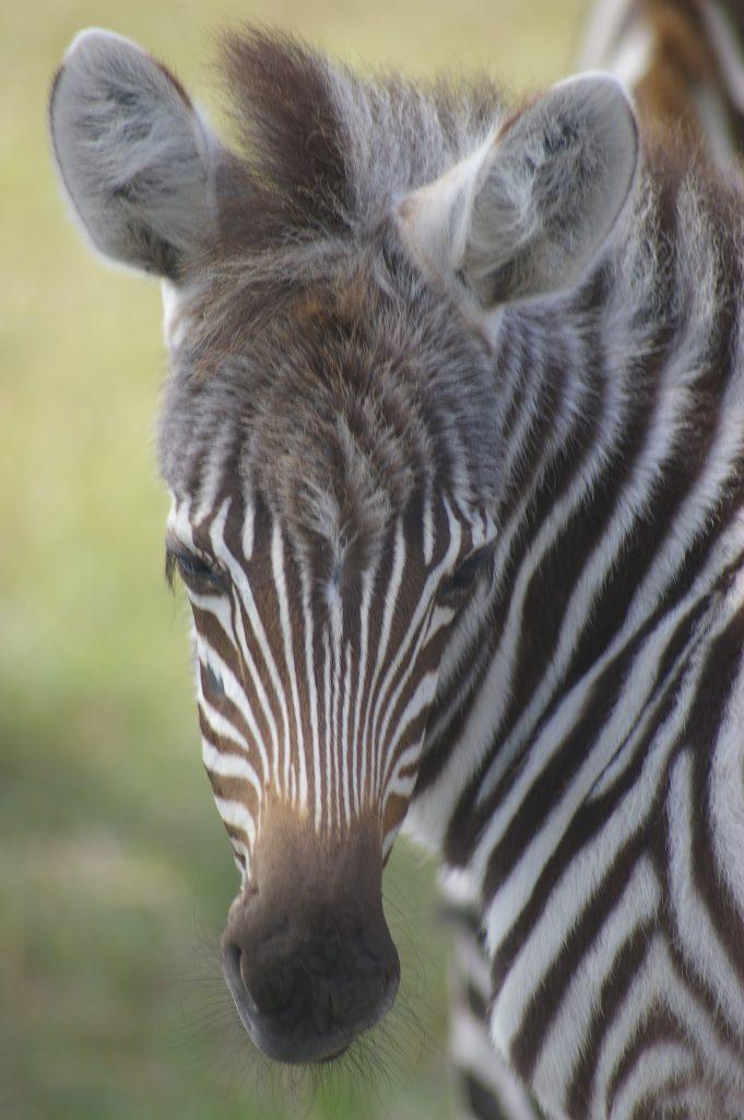 Jackson zebra